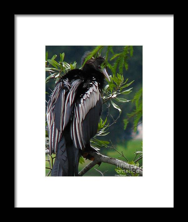 Patzer Framed Print featuring the photograph Water Turkey by Greg Patzer