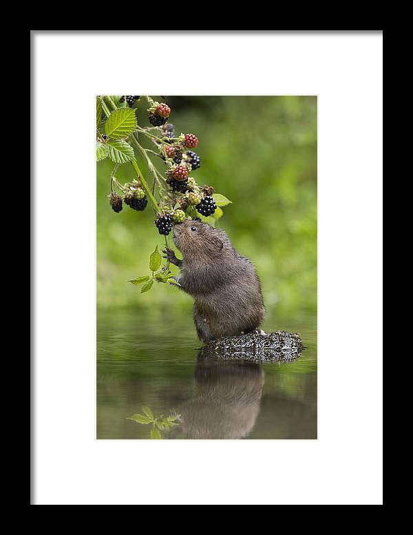 Nis Framed Print featuring the photograph Water Vole Eating Blackberries Kent Uk by Penny Dixie