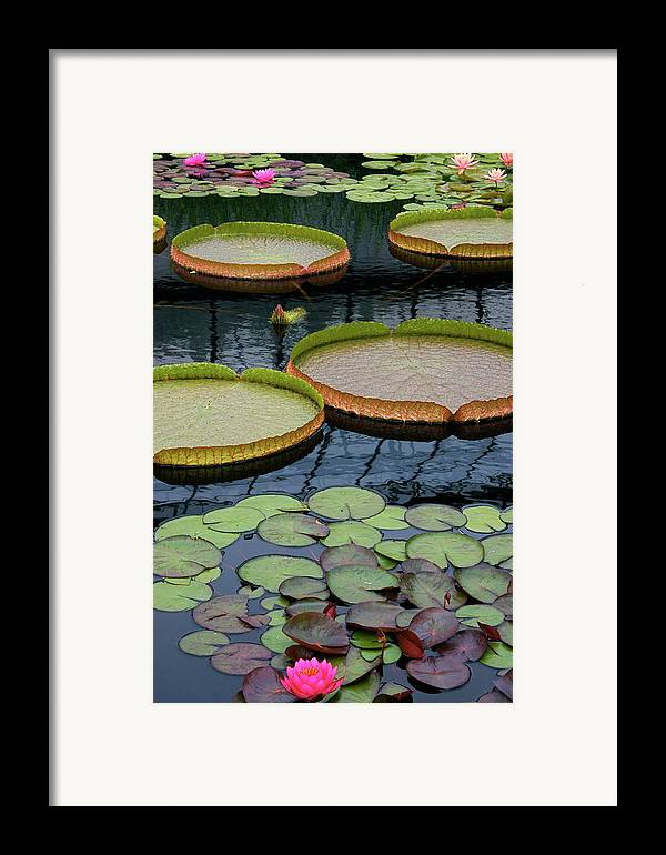 Aquatic Plants Framed Print featuring the photograph Waterlilies And Platters 2 by Byron Varvarigos