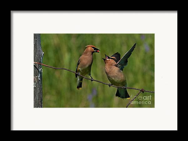 Festblues Framed Print featuring the photograph Waxwing Love.. by Nina Stavlund