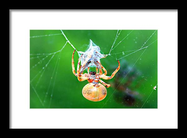 Orb Spider Framed Print featuring the photograph Weaving Orb Spider by Candice Trimble