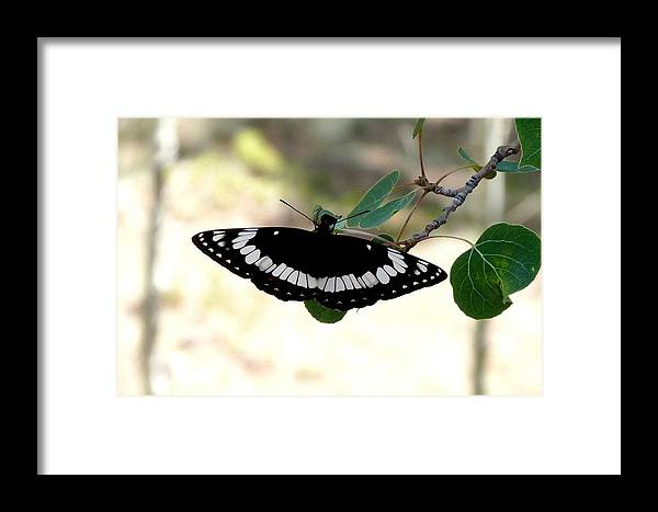 Colorado Framed Print featuring the photograph Weidemeyer's Admiral by Marilyn Burton
