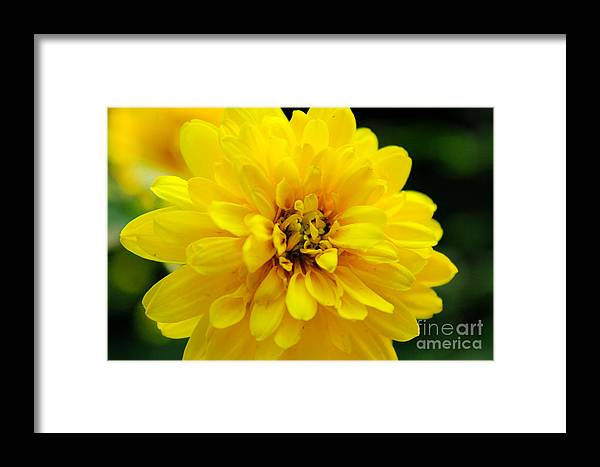 Yellow Marigold Framed Print featuring the photograph West Virginia Marigold by Melissa Petrey