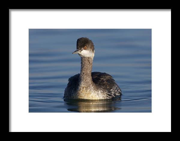 Western Framed Print featuring the photograph Western Grebe by Julie Chen