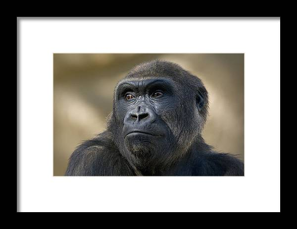 Feb0514 Framed Print featuring the photograph Western Lowland Gorilla Portrait by San Diego Zoo