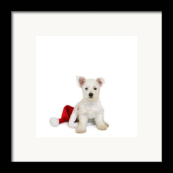 Photo Framed Print featuring the photograph Westie Puppy And Santa Hat by Natalie Kinnear