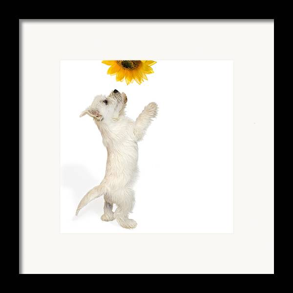 Photo Framed Print featuring the photograph Westie Puppy And Sunflower by Natalie Kinnear