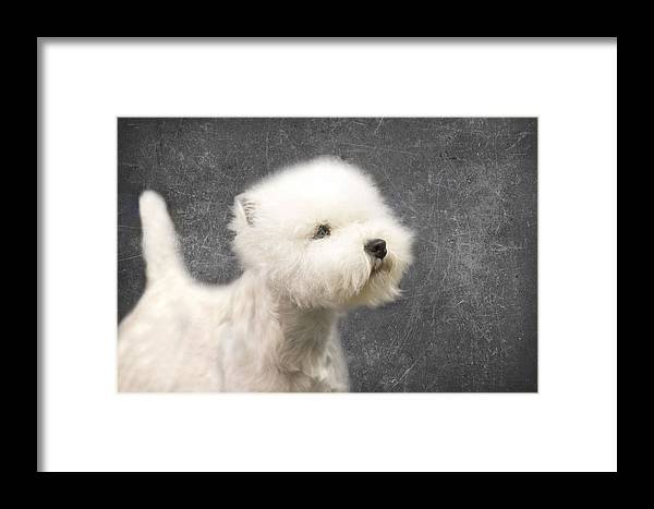 Westie Framed Print featuring the photograph Westie by Rebecca Cozart