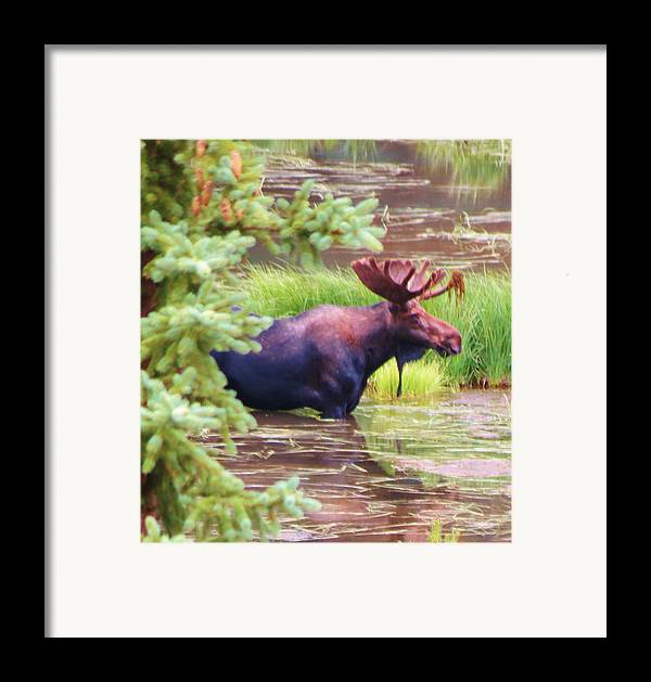 Moose Framed Print featuring the photograph Wet And Wild by Feva Fotos