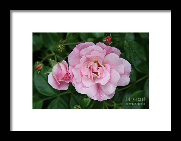 Rose Framed Print featuring the photograph Wet Prettiness by Christiane Schulze Art And Photography