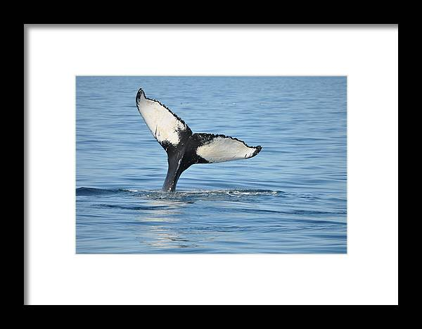 Humpback Whale Framed Print featuring the photograph Whale's Tail by Jeffrey Stolzberg