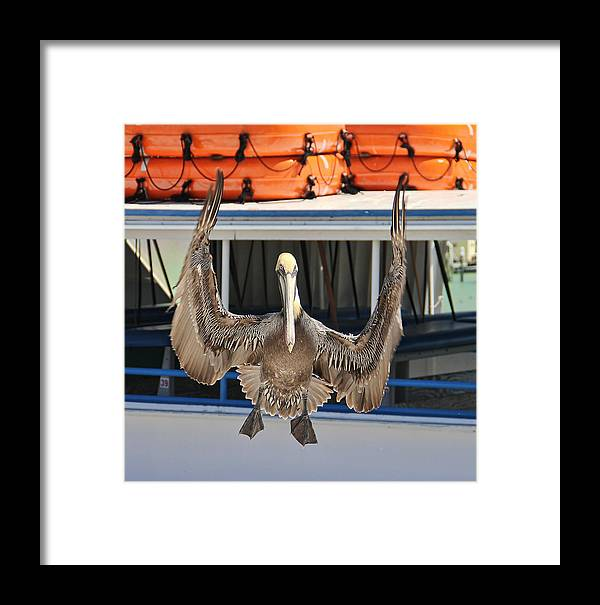 Pelican Framed Print featuring the photograph What's Up? by Oscar Alvarez Jr