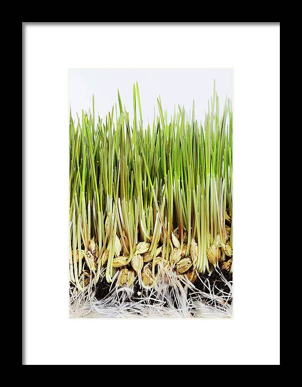 Agricultural Framed Print featuring the photograph Wheatgrass Seedling by Cordelia Molloy