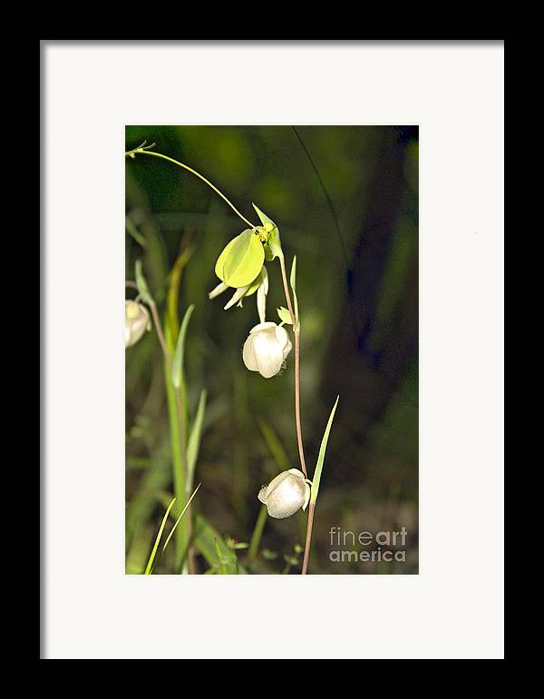 Wildflowers; Globes; Nature; Green; White Framed Print featuring the photograph Whispers by Kathy McClure
