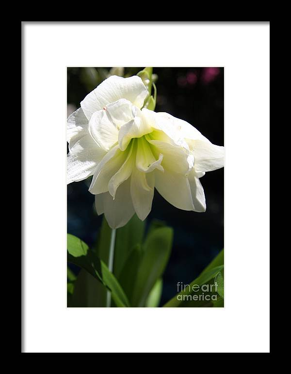 Amrillys Framed Print featuring the photograph White Amarillys by Christiane Schulze Art And Photography