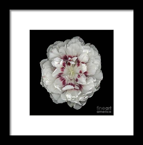Double Tulip Framed Print featuring the photograph White And Red Double Tulip by Oscar Gutierrez