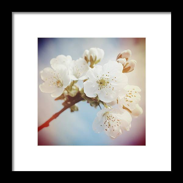 Apple Blossom Framed Print featuring the photograph White Apple Blossom In Spring by Matthias Hauser