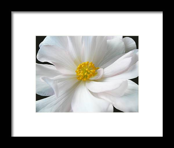 Begonia Framed Print featuring the photograph White Begonia Floral by Jennie Marie Schell