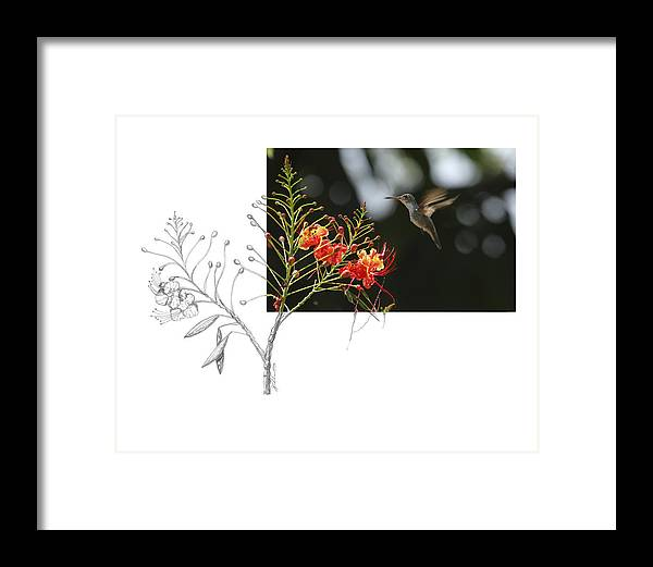 White-bellied Emerald Framed Print featuring the photograph White-bellied Emerald by Andrew McInnes