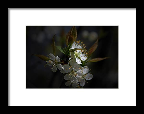 White Blossoms Framed Print featuring the photograph White Blossoms by John Stuart Webbstock
