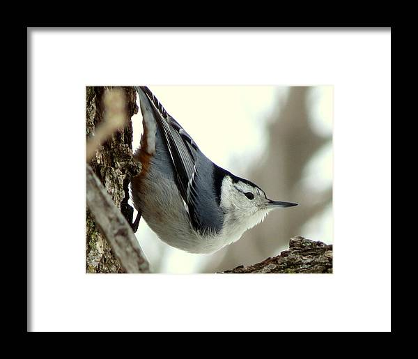 Framed Print featuring the photograph White-breasted Nuthatch by Marcus Moller