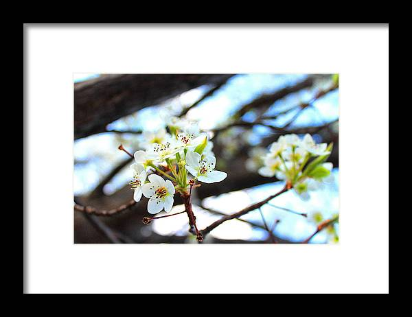 Cherry Blossom Framed Print featuring the photograph White Cherry by Candice Trimble