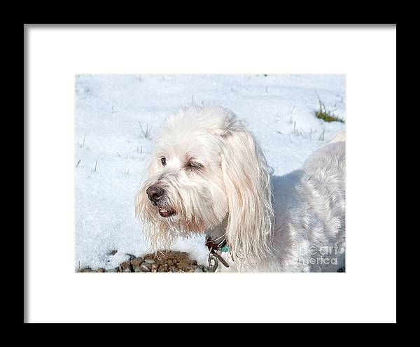 Dog Framed Print featuring the photograph White Coton De Tulear Dog In Snow by Valerie Garner