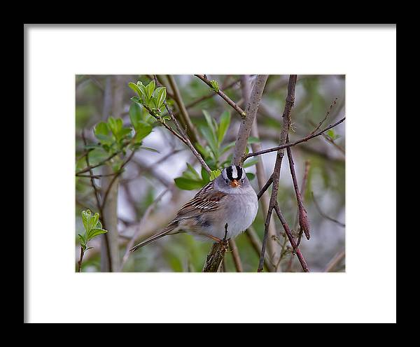 Framed Print featuring the photograph White Crowned Sparrow by Patrick Forster