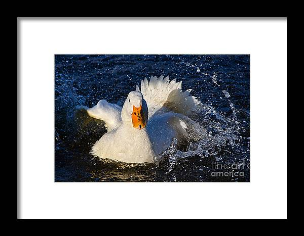 Duck Framed Print featuring the photograph White Duck 1 by Susie Peek