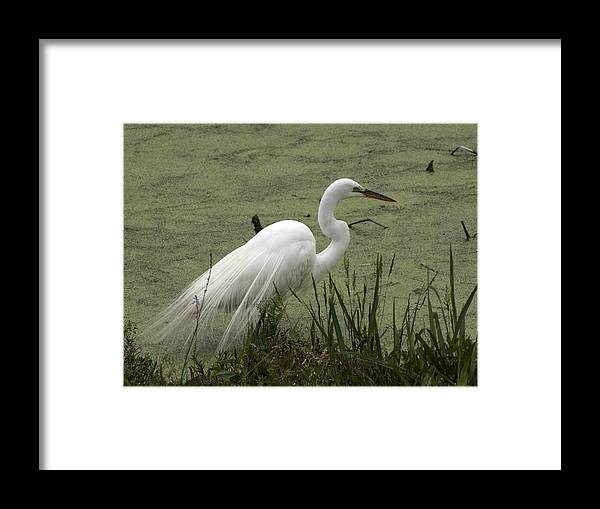 Nature Framed Print featuring the photograph White Egret by Tasha ONeill