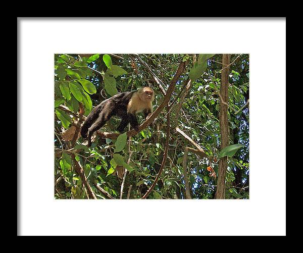 White-faced Capuchin Monkey In Manuel Antonio National Preserve In Costa Rica Framed Print featuring the photograph White-faced Capuchin Monkey In Manuel Antonio National Preserve-costa Rica by Ruth Hager