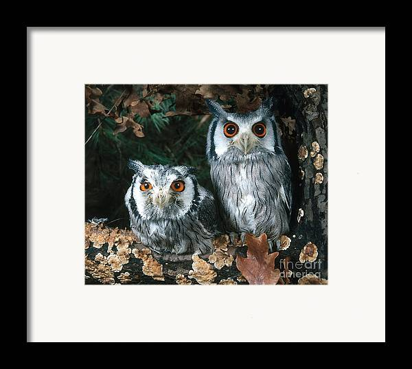 Animal Framed Print featuring the photograph White Faced Scops Owl by Hans Reinhard