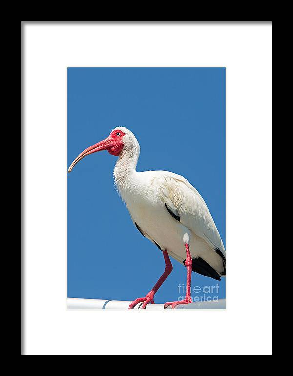 Ibis Framed Print featuring the photograph White Ibis At Wild Bird Sanctuary by Natural Focal Point Photography
