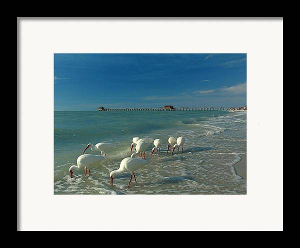 Florida Framed Print featuring the photograph White Ibis Near Historic Naples Pier by Juergen Roth