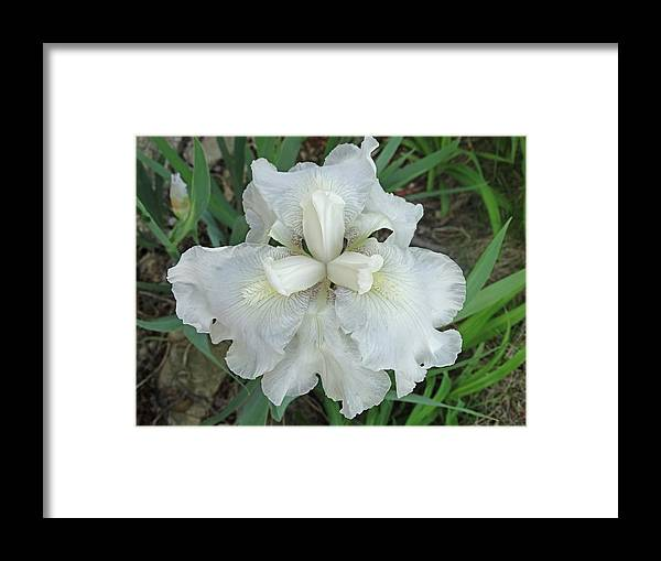 Blooming Flowers Framed Print featuring the photograph White Iris by Greg Boutz