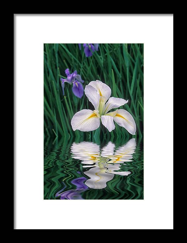 Flower Framed Print featuring the photograph White Iris by Keith Gondron