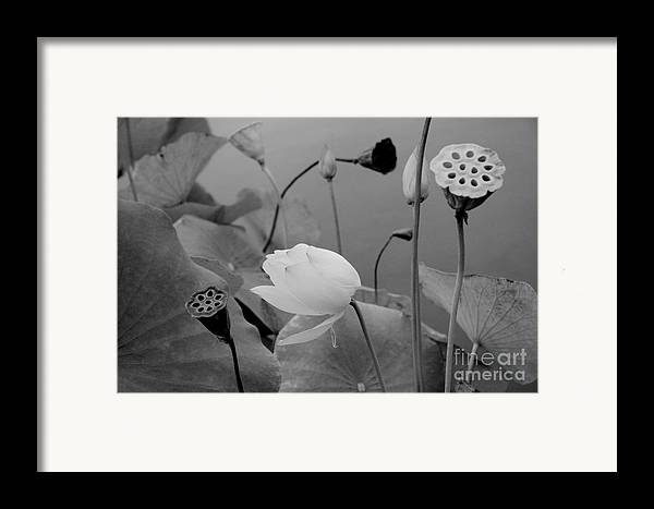Nature Framed Print featuring the photograph White Lotus Flowers In Balboa Park San Diego by Julia Hiebaum