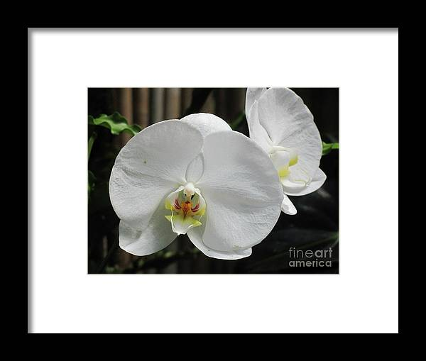Flower Framed Print featuring the photograph White Orchids by Anita Adams