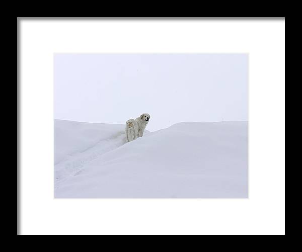 Great Pyrenees Framed Print featuring the photograph White Out by Tracy DelliQuadri