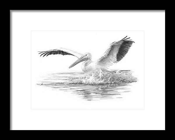 <a Href=http://miketheuer.com Target =_blank>www.miketheuer.com</a> Framed Print featuring the drawing White Pelican Pencil Portrait by Mike Theuer