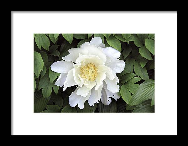 White Framed Print featuring the photograph White Peonies by Richard Kitchen
