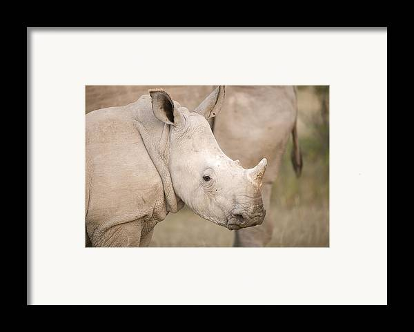 Adult Framed Print featuring the photograph White Rhinoceros Calf by Science Photo Library