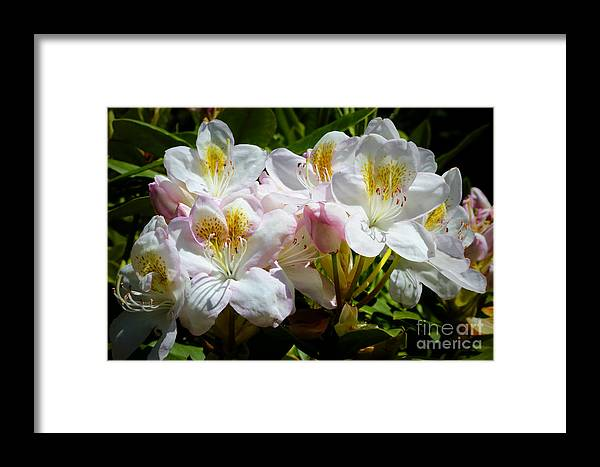 Rhododendron Framed Print featuring the photograph White Rhododendron In Sunlight by Carol Groenen