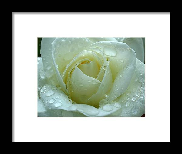 Rose Framed Print featuring the photograph White Rose by Juergen Roth