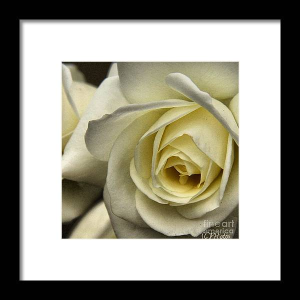 Rose Framed Print featuring the photograph White Rose by Phil Huettner