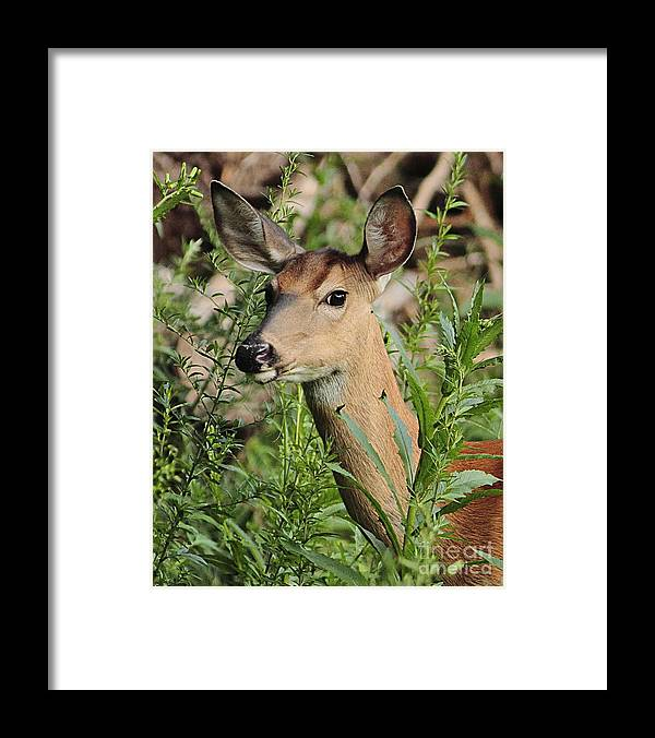 Deer Framed Print featuring the photograph White Tail Deer by Linda C Johnson