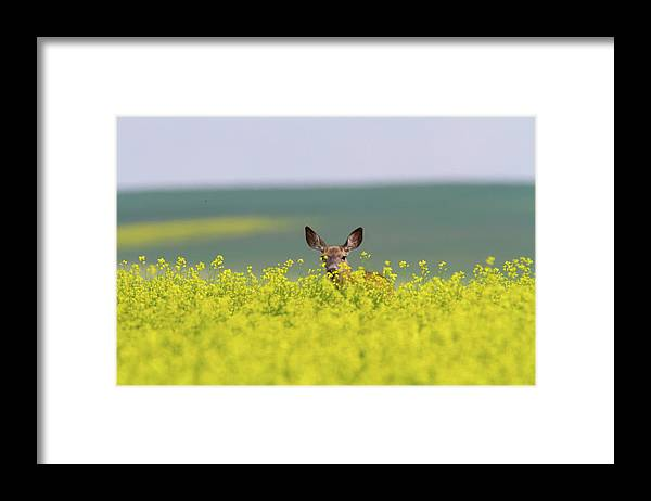 Alertness Framed Print featuring the photograph White-tailed Doe by Ed Matuod
