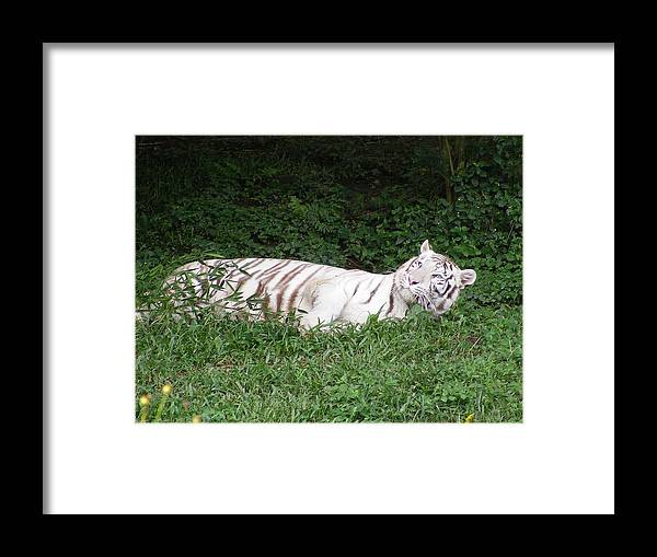 White Framed Print featuring the photograph White Tiger 2 by Florentina De Carvalho