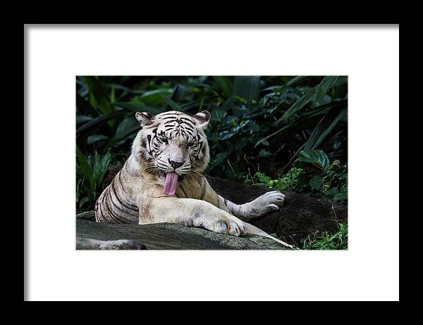 White Tiger Framed Print featuring the photograph White Tiger by Manoj Shah