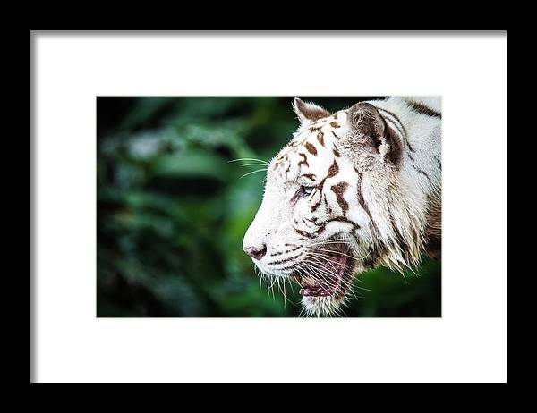 Snarling Framed Print featuring the photograph White Tiger by Tony Kh Lim